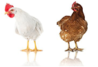 Evonik unveils new antimicrobial agent for poultry processing