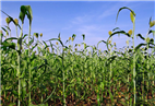 Sorghum cultivars can produce thousands of gallons of ethanol