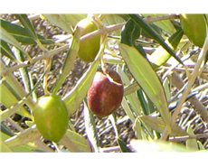 Olive oil waste yields molecules useful for chemical, food industries