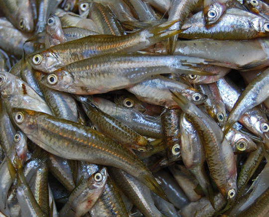 Compounds in fermented fish could reduce high cholesterol for Is fish high in cholesterol