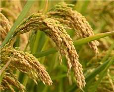 A representational image of rice crops