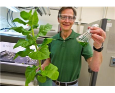 Producing biofuels from tobacco leaves