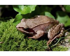 Brown Frog Skin as Powerful Antibiotics