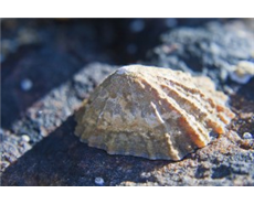 Limpet teeth might be strongest natural material, say scientists